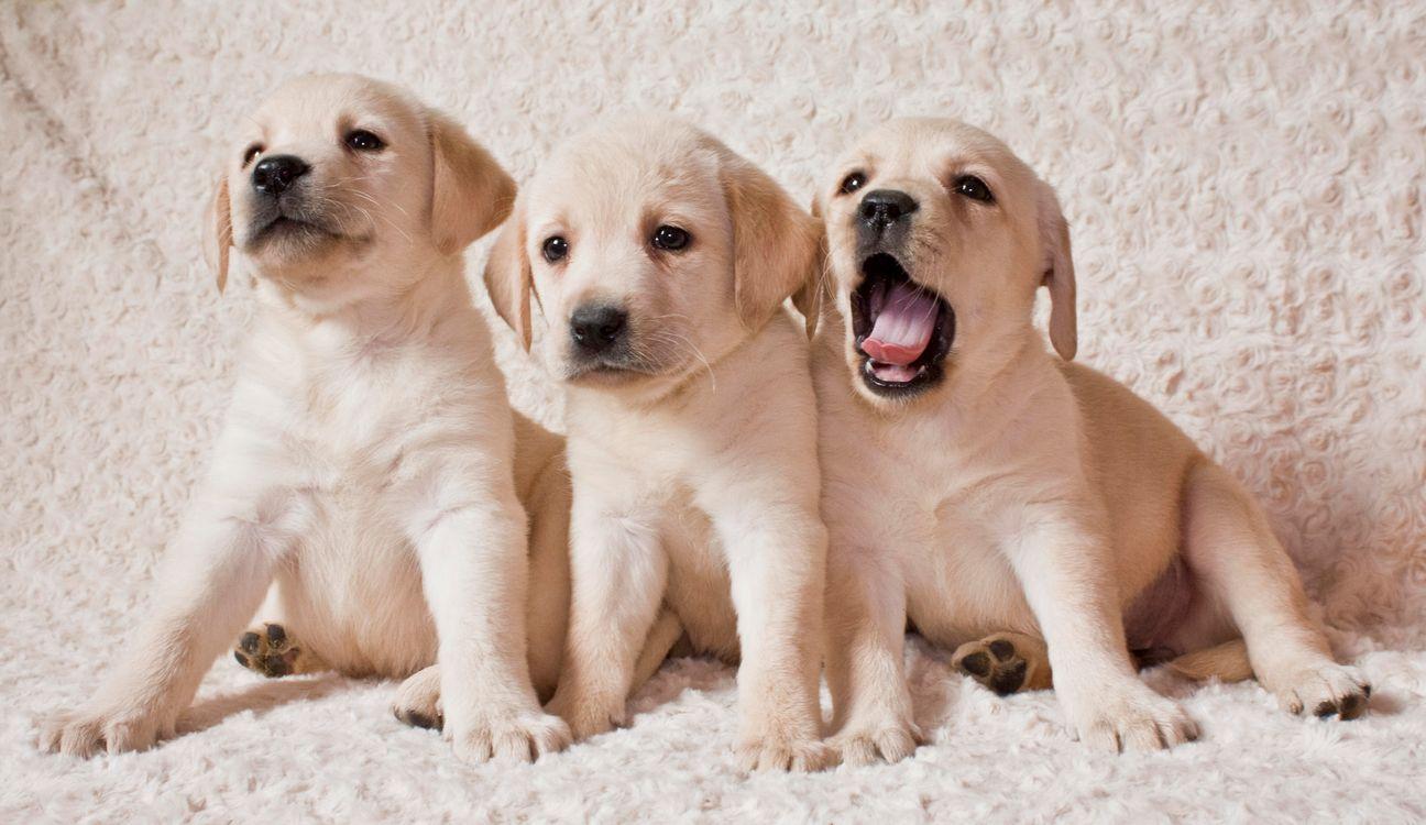 Фото бесплатно Labrador puppies, Лабрадор, Щенки лабрадора - на рабочий стол