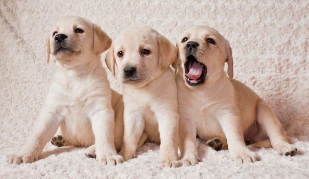 Photo free Labrador puppies, Labrador, puppies
