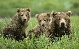 Бесплатные фото медведица,медвежата,морды,шерсть мокрая,трава