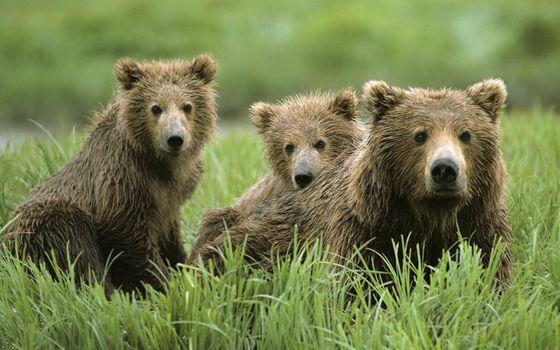 Photo free bear, muzzle, wool wet