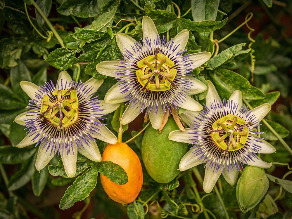 Фото бесплатно Passiflora, цветок, флора, цветы