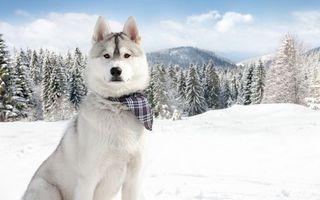 Бесплатные фото хаски,морда,шерсть,платок,снег,деревья,лес