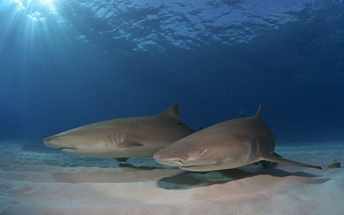 Фото бесплатно акулы, жабры, плавники, дно, море, подводный мир