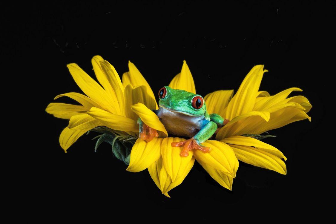 Обои лягушка на цветке, зеленая, желтый картинки на телефон