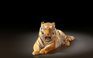 Бесплатные фото тигр,хищник,полосатый,морда,оскал,шерсть