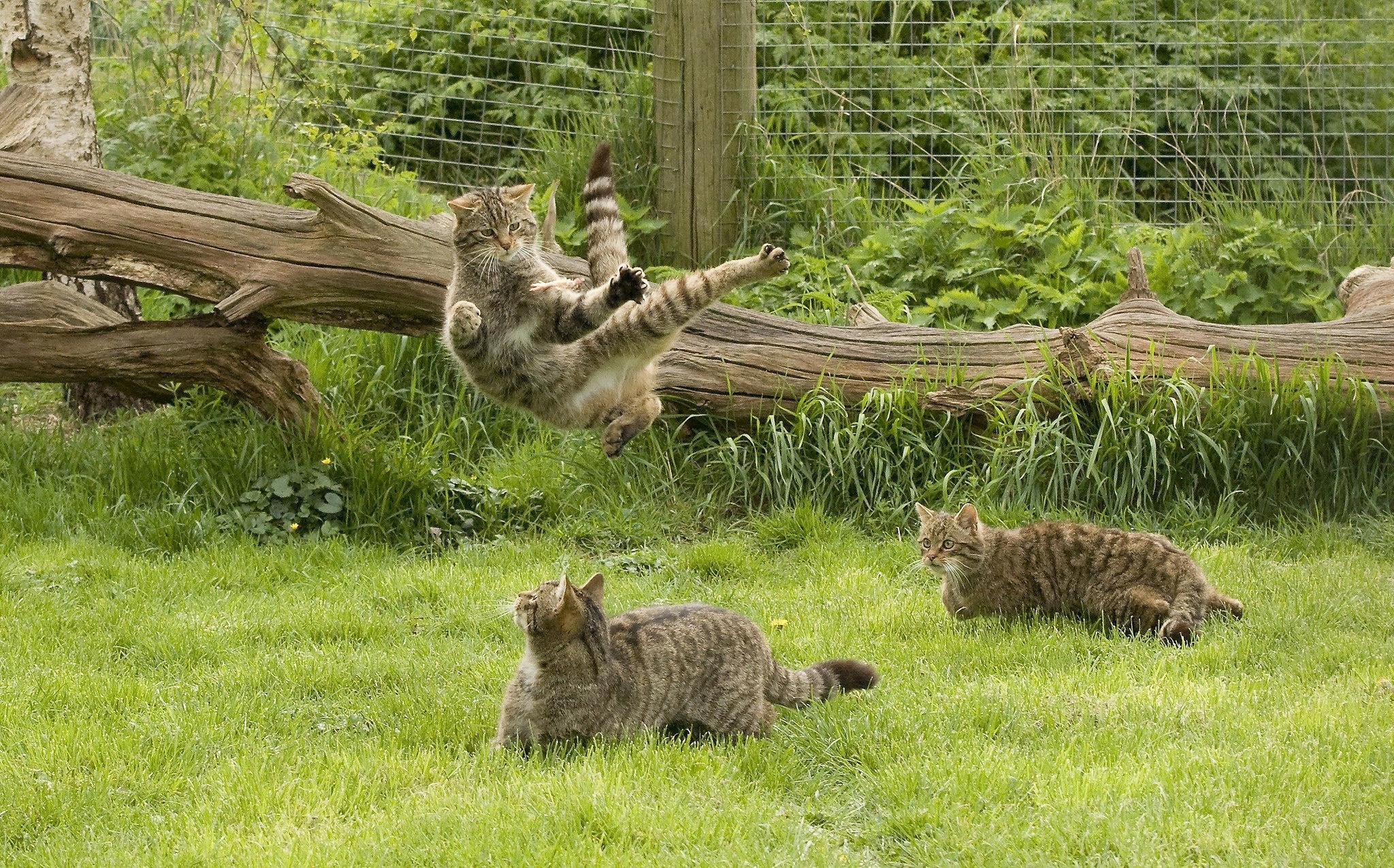 обои коты, кошки, игра, прыжок картинки фото