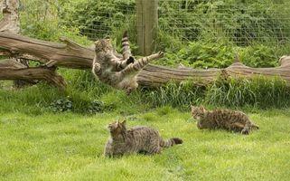 Фото бесплатно коты, кошки, игра