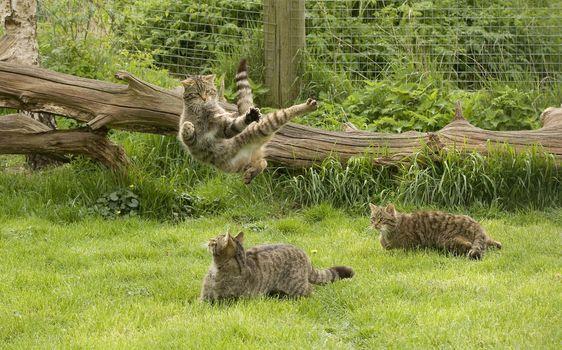Бесплатные фото коты,кошки,игра,прыжок