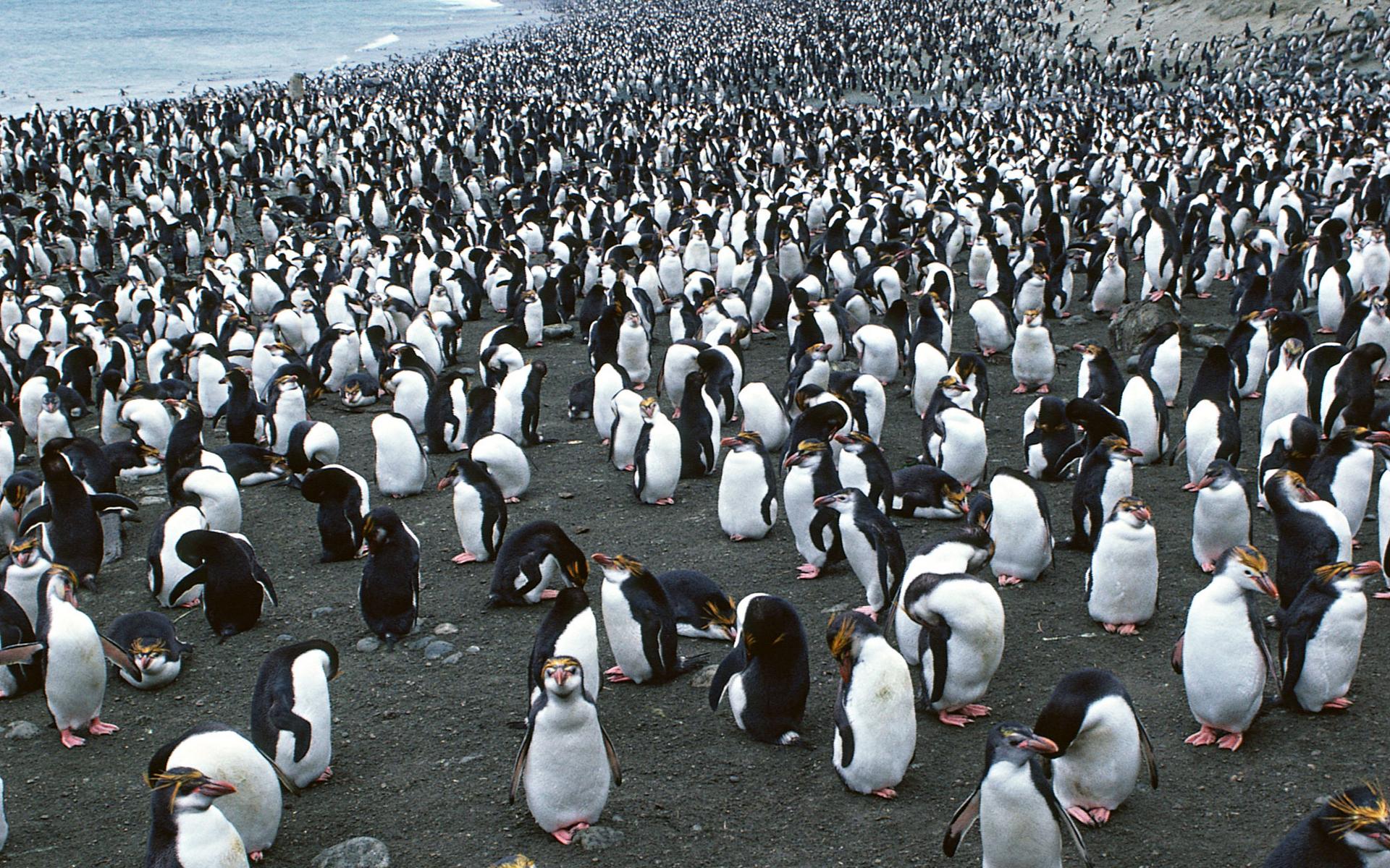 обратиться показать стадо пингвинов фото ужасающая правда том