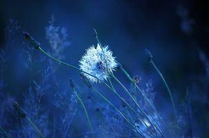 Фото бесплатно одуванчик, растение, макро
