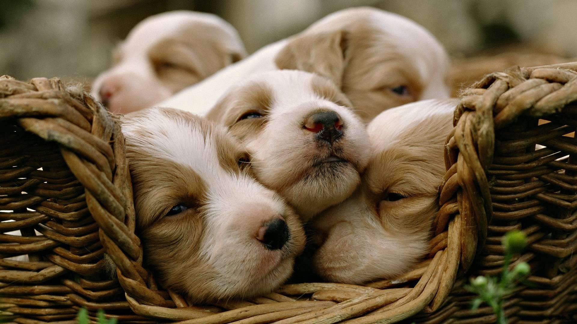 Обои щенки в корзинке