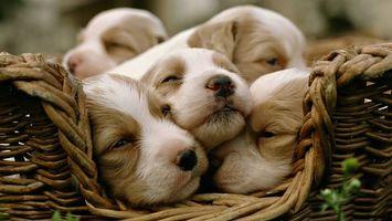 Фото бесплатно щенки в корзинке, маленькие, крохи, глазки, корзина