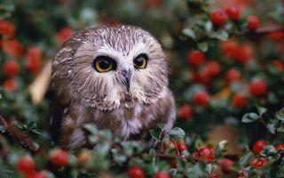 Бесплатные фото сова,глаза,клюв,перья,кустарник,листья,ягода