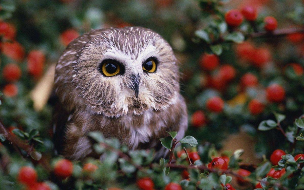 Фото бесплатно сова, глаза, клюв, перья, кустарник, листья, ягода, птицы