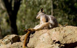 Бесплатные фото кенгуру,сидит,морда,лапы,хвост,шерсть,камень