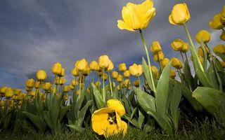 Фото бесплатно поле, тюльпаны, лепестки, желтые, стебли, листья, трава, зеленые