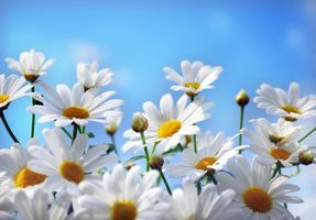 Photo free daisies, flowers, macro
