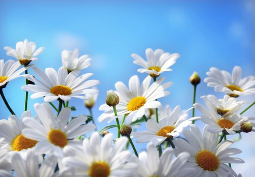 Фото бесплатно ромашки, цветы, макро