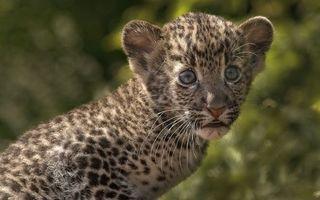 Фото бесплатно леопард, котенок, глаза