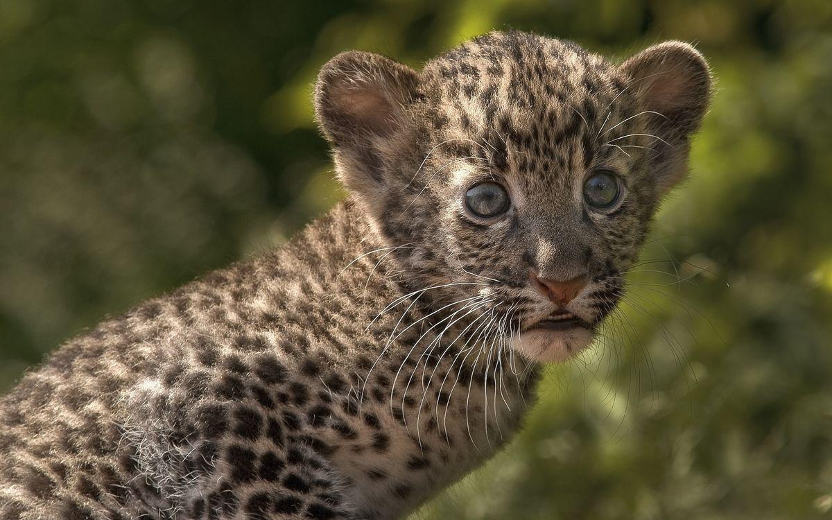 Фото бесплатно леопард, котенок, глаза - на рабочий стол