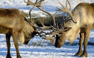 Фото бесплатно олени, рога, морды