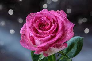 Фото про флора, роза