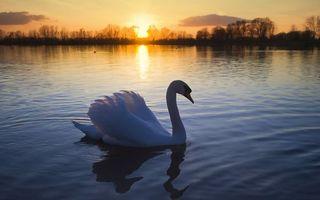 Бесплатные фото вечер,лебедь,клюв,крылья,перья,озеро,деревья
