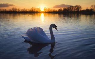 Photo free evening, swan, beak