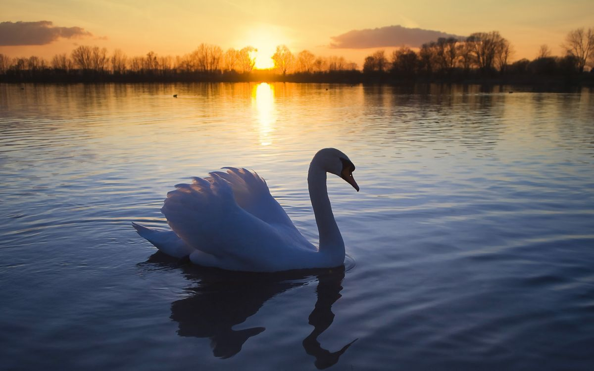 Photos for free evening, swan, beak - to the desktop