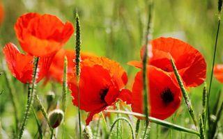Заставки зеленая,цветы,стебли,красные,трава,лепестки,маки