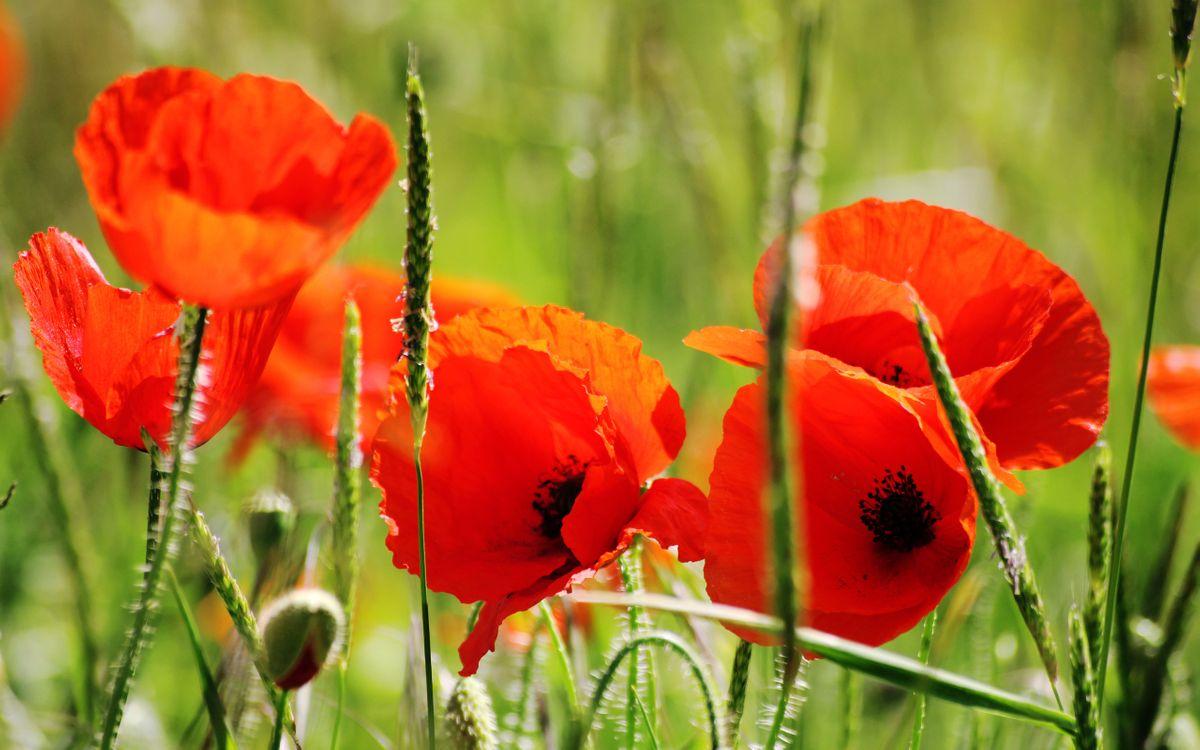 Фото бесплатно зеленая, цветы, стебли, красные, трава, лепестки, маки, разное