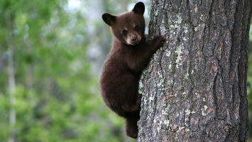 Фото бесплатно бурый, медвеженок, на дереве