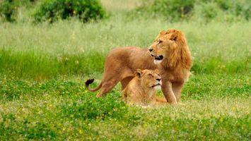 Бесплатные фото лев, львица, хищники, трава, природа, кошки