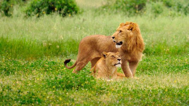 Бесплатные фото лев,львица,хищники,трава,природа,кошки