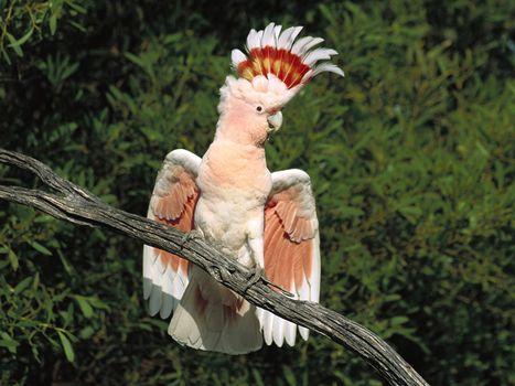Заставки попугай, птахи, хохолок
