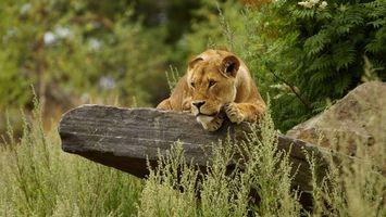 Photo free lioness, cat, predator