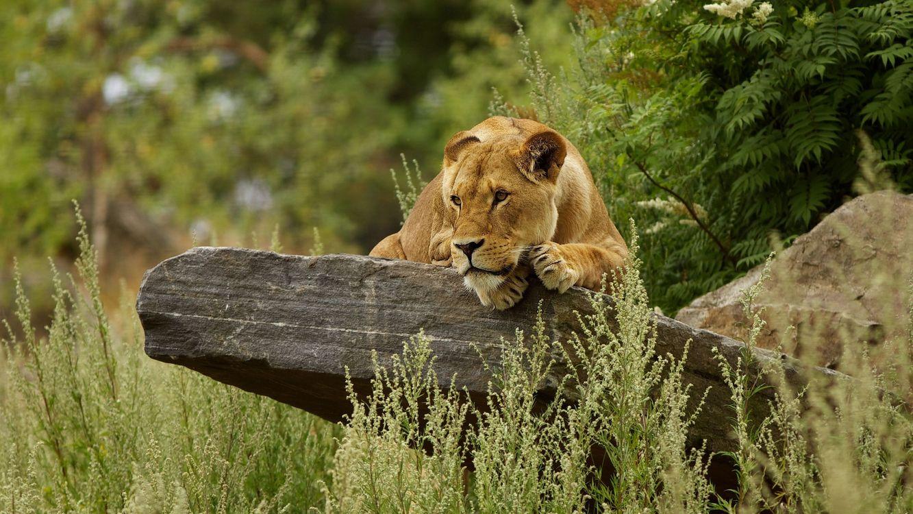 Фото бесплатно львица, кошка, хищник, когти, камень, трава, природа, деревья, зелень, животные, животные