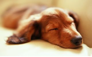 Photo free dog, puppy, sleep
