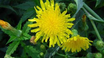 Бесплатные фото природа,разное,цветы,желтый,одуванчик