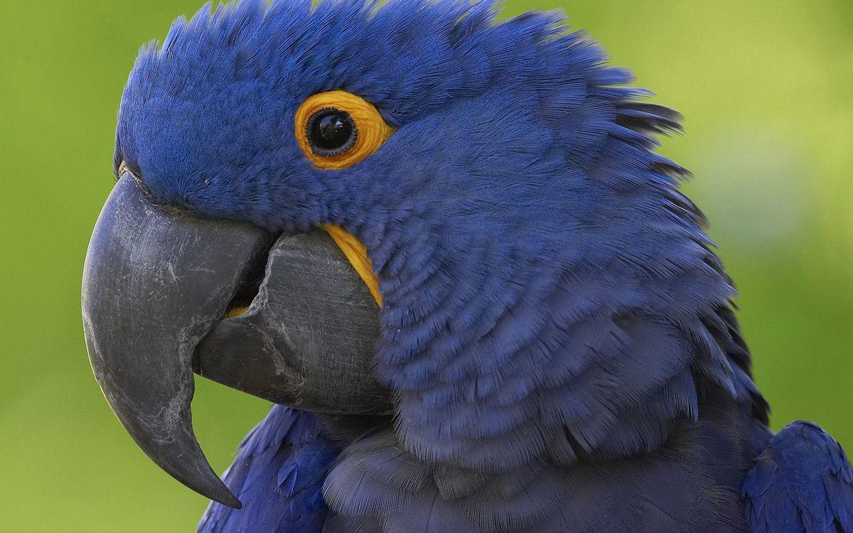 Фото бесплатно попугай, перья, клюв, глаза, крылья, фото, синий, желтый, птицы, птицы