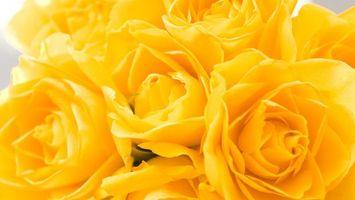 Бесплатные фото розы, бутоны, желтые, лепестки, аромат, фон, серый