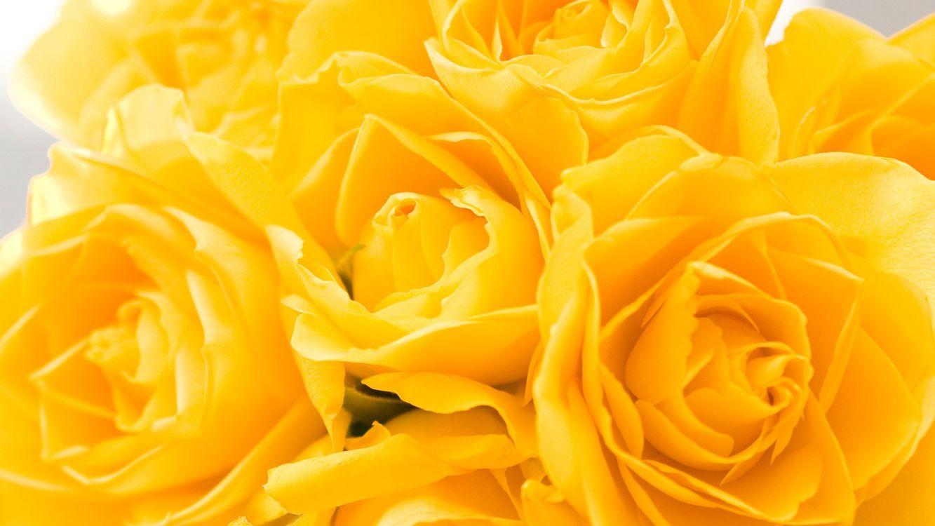 Фото бесплатно розы, бутоны, желтые, лепестки, аромат, фон, серый, листья, букет, цветы, цветы