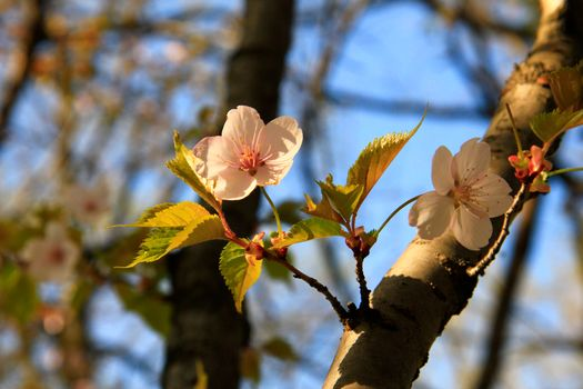 Бесплатная заставка сакура, цветы, весна