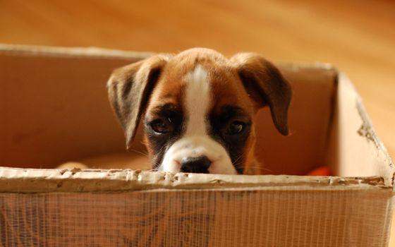 Бесплатные фото щенок,глаза,наблюдает,уши,коробка,домик,собаки