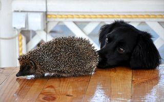 Бесплатные фото собака,черная,морда,глаза,стол,ежик,иголки