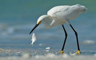 Фото бесплатно цапля, белая, перья