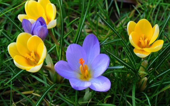Photo free primroses, crocuses, grass