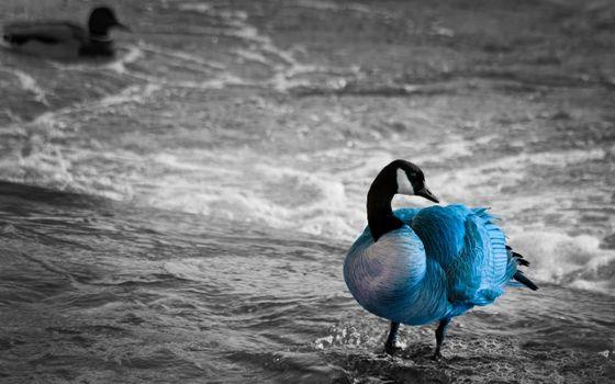 Заставки утка, голубая, река