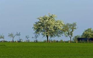 Обои яблоня, весна, цветет, трава, поле, забор, небо, голубое, горизонт, природа, пейзажи