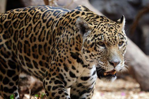Фото бесплатно ягуар, дикая, кошка